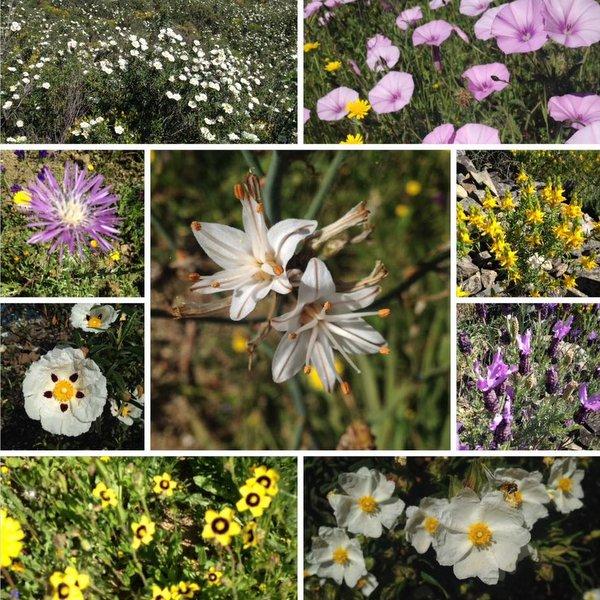 Fleurs sur la Via Algarviana au printemps