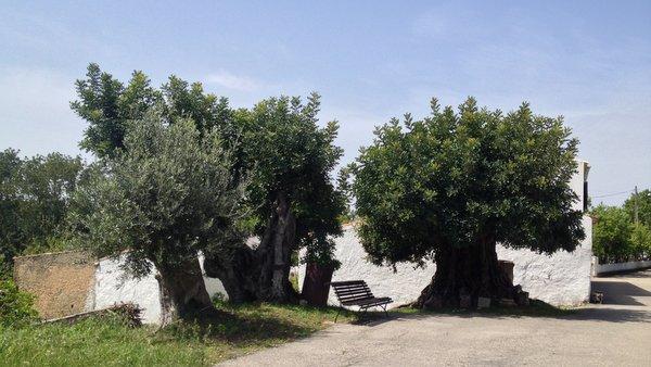 Repos à l'ombre des oliviers centenaires